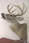Whitetail Deer Table Mount